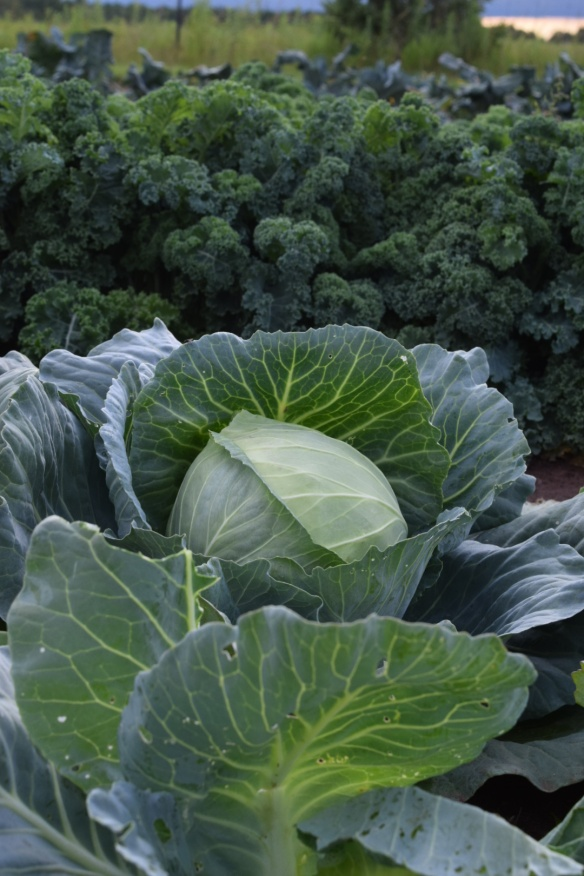 Green Cabbage glamour shot