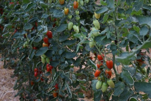 Greenhouse Tomato variety Juilet