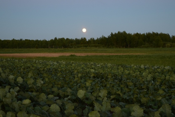 Summer Solstice moon over the broccoli