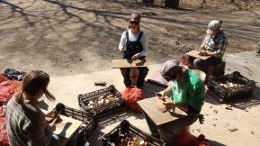 The farm crew cutting seed potatoes